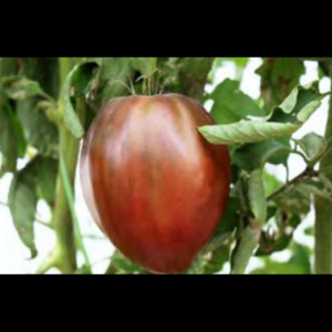 Semillas de Hortalizas de fruto