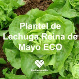 Plantel Lechuga Reina de Mayo ECO